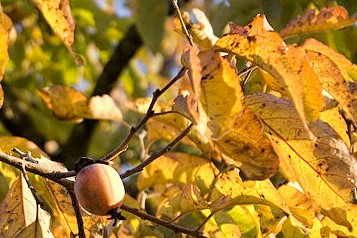 Native Oklahoma Persimmons 101 | Red Dirt Chronicles